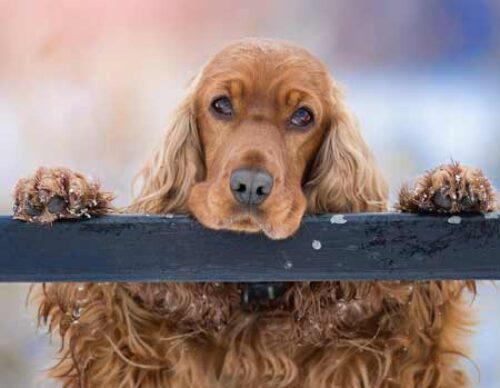 finhund